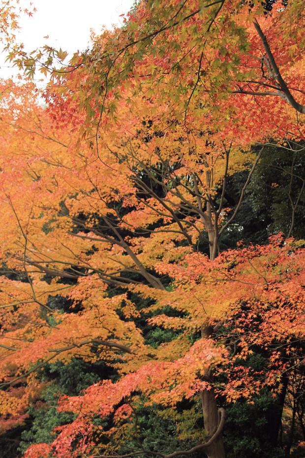 紅葉(こうよう・もみじ)220