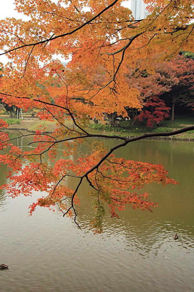 紅葉(こうよう・もみじ)225