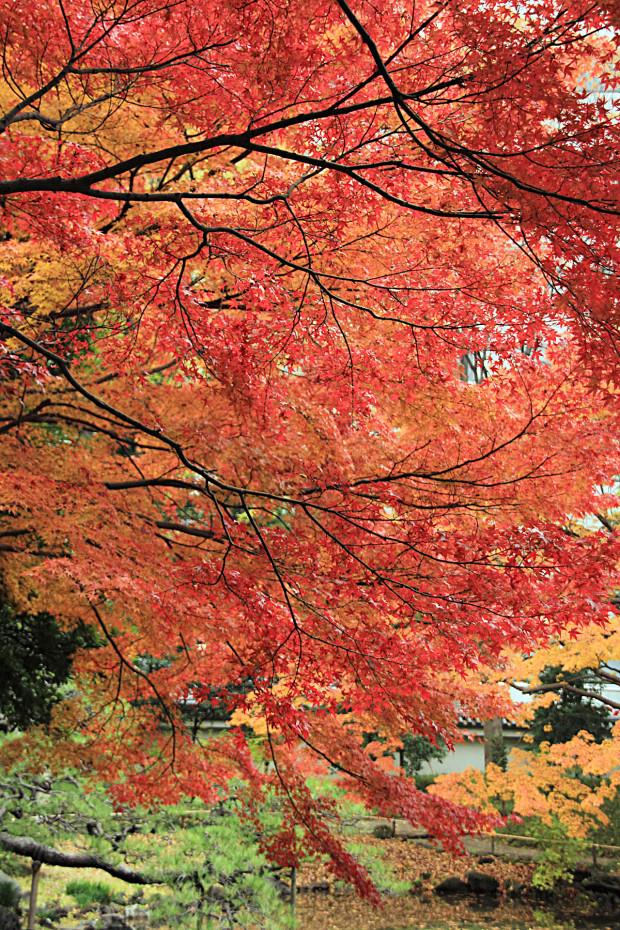 紅葉(こうよう・もみじ)246