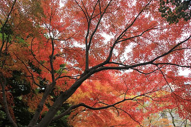 紅葉(こうよう・もみじ)247