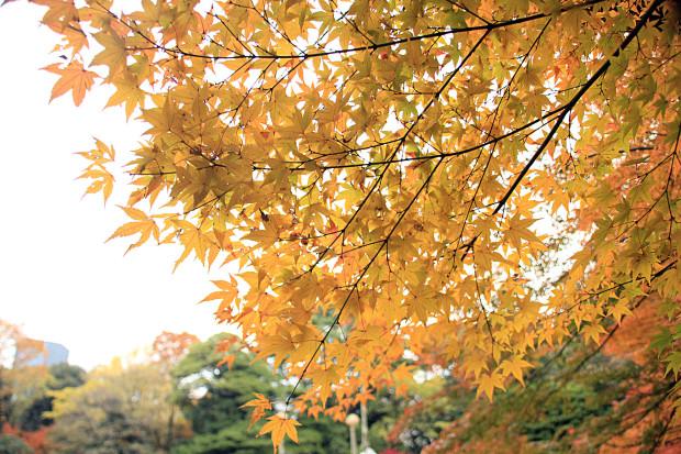 紅葉(こうよう・もみじ)266
