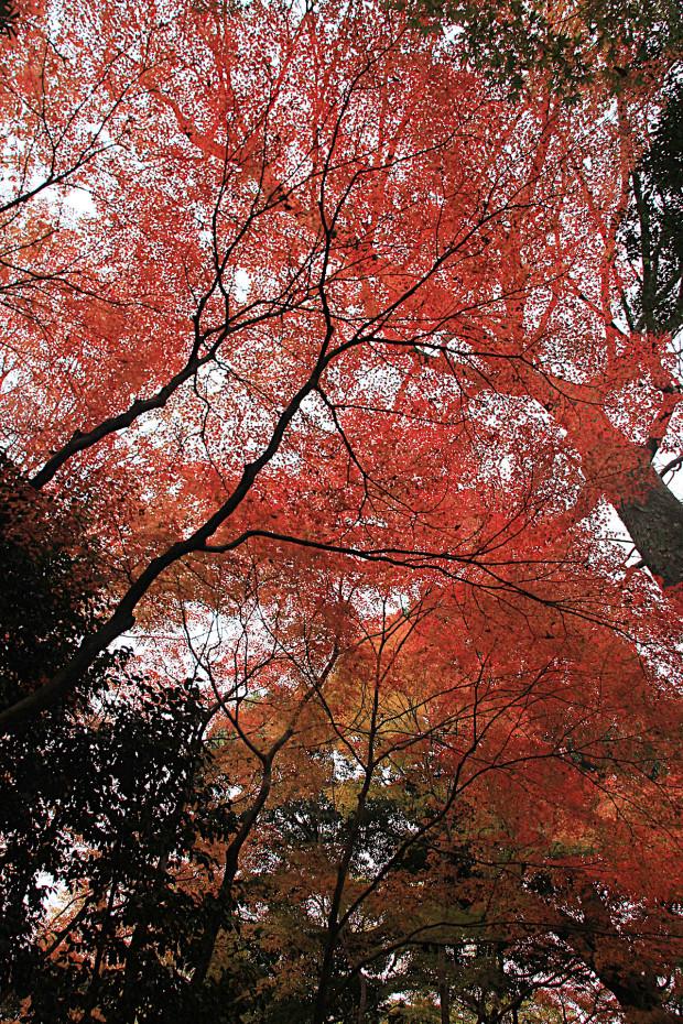 紅葉(こうよう・もみじ)268
