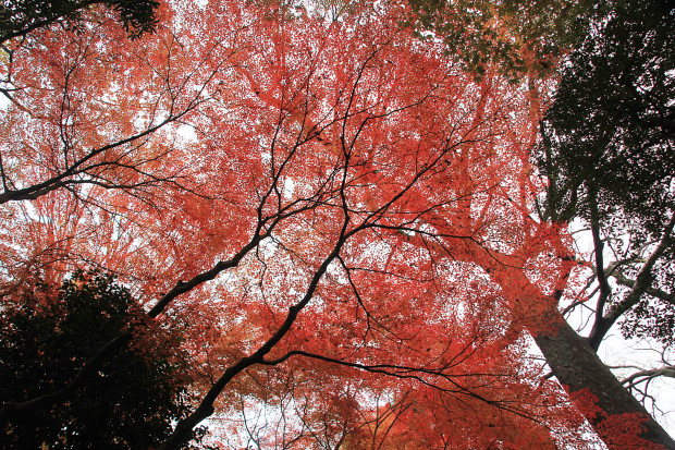 紅葉(こうよう・もみじ)269