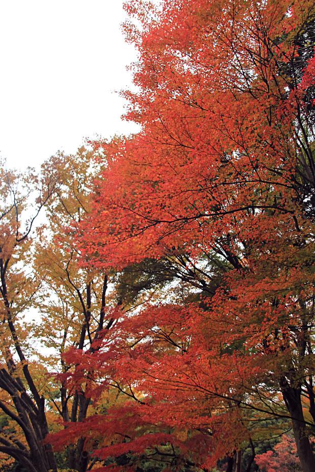 紅葉(こうよう・もみじ)279