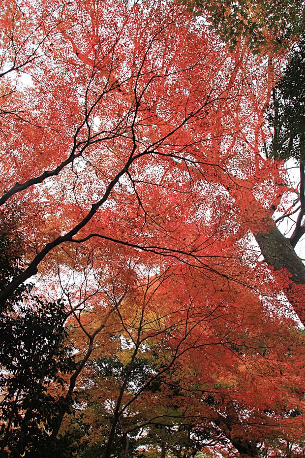 紅葉(こうよう・もみじ)288