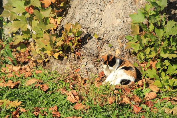 猫|日向ぼっこする三毛猫写真040