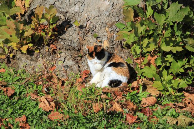 猫|日向ぼっこする三毛猫写真041