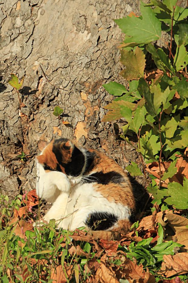 猫|毛繕いする三毛猫写真042