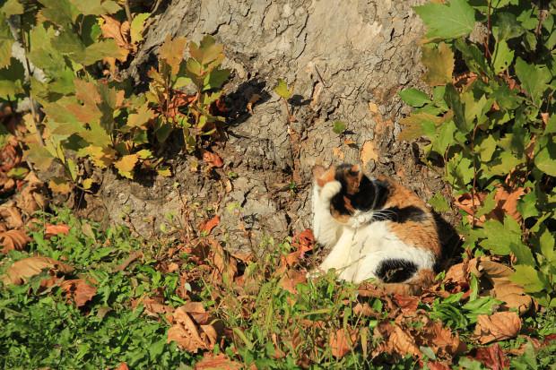 猫|毛繕いする三毛猫写真043