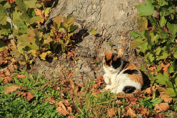猫|毛繕いする三毛猫写真044