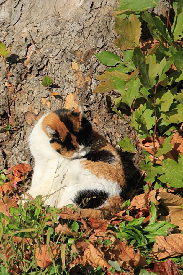 猫|毛繕いする三毛猫写真045