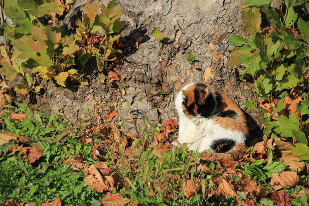 猫|毛繕いする三毛猫写真046