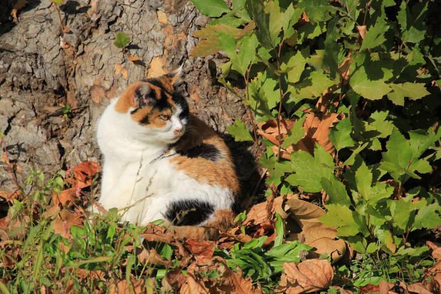 猫|毛繕いする三毛猫写真047