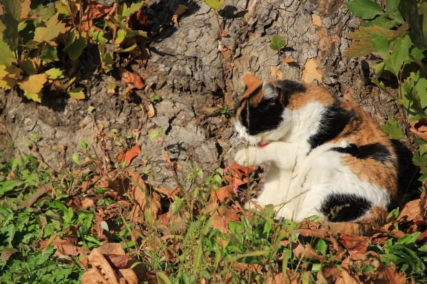 猫|毛繕いする三毛猫写真048
