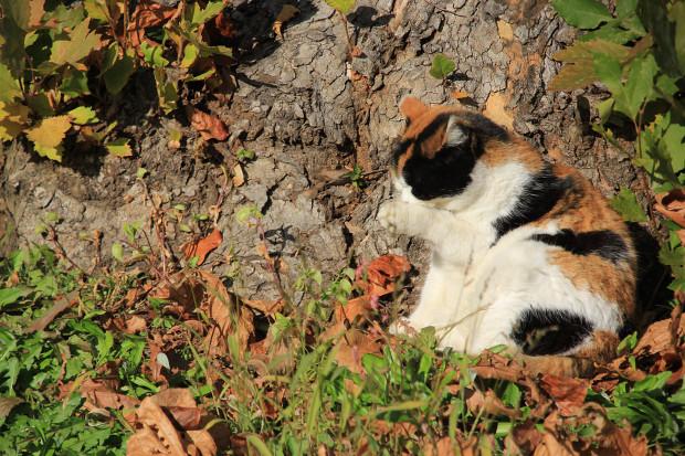 猫|毛繕いする三毛猫写真049