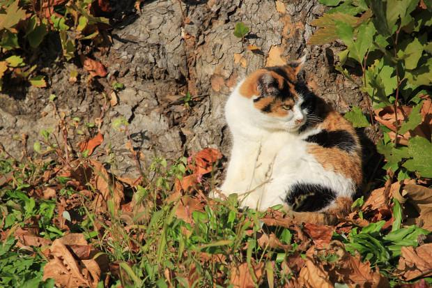 猫|日向ぼっこする三毛猫写真050
