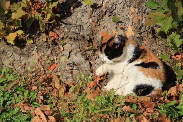 猫|毛繕いする三毛猫写真052