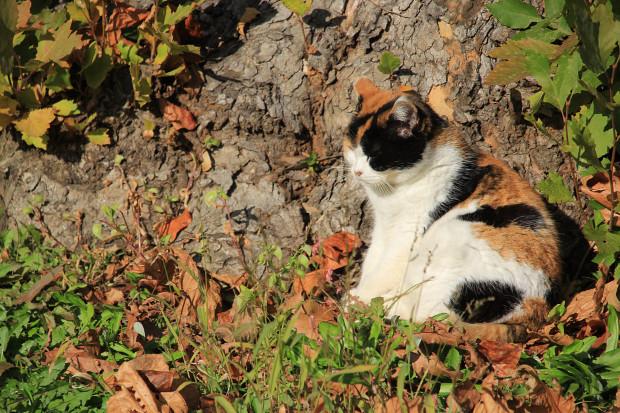 猫|日向ぼっこする三毛猫写真053