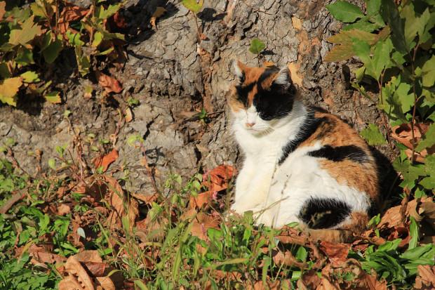 猫|日向ぼっこする三毛猫写真054