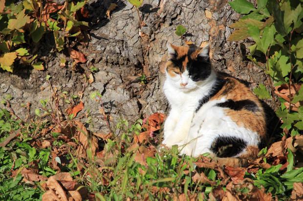 猫|日向ぼっこする三毛猫写真055