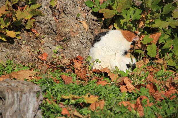 猫|日毛繕いする三毛猫写真056