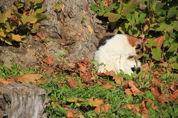 猫|日毛繕いする三毛猫写真057