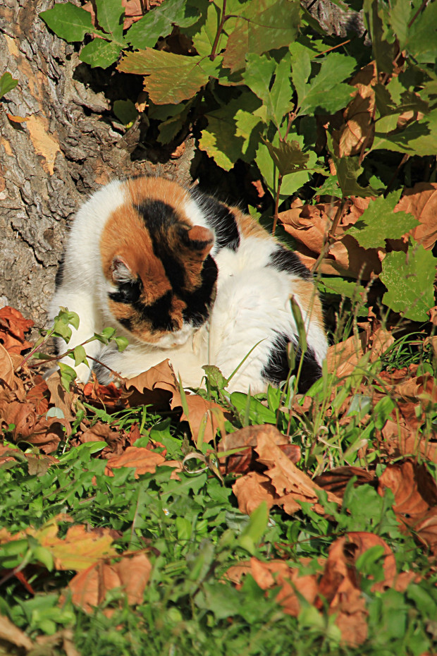猫|日毛繕いする三毛猫写真058