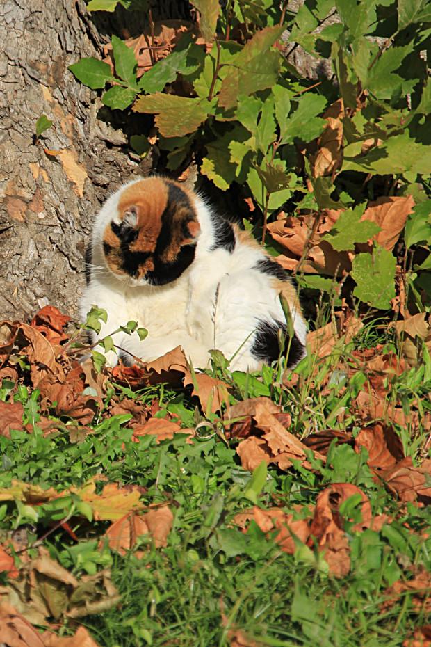 猫|日毛繕いする三毛猫写真059