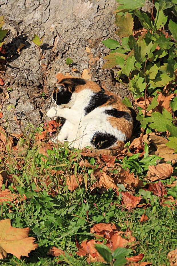 猫|日毛繕いする三毛猫写真060