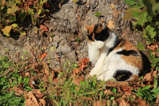 猫|日毛繕いする三毛猫写真062