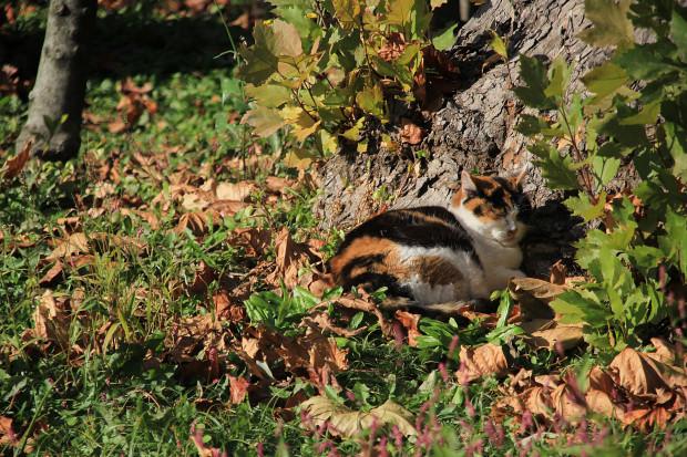 猫|日向ぼっこする三毛猫写真065