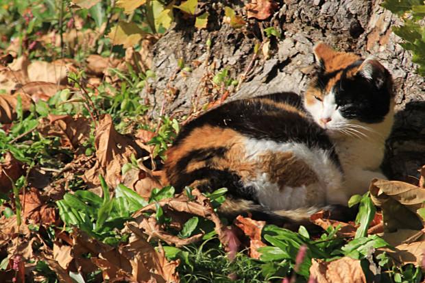 猫|日向ぼっこする三毛猫写真066