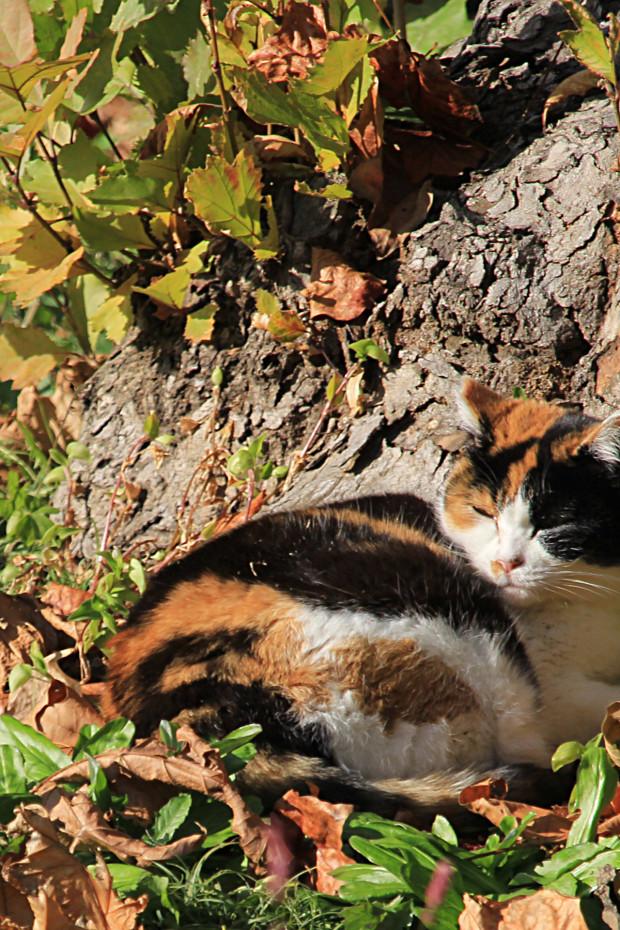 猫|日向ぼっこする三毛猫写真067