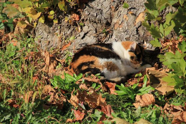 猫|日向ぼっこする三毛猫写真068