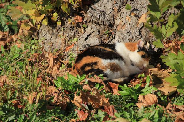 猫|日向ぼっこする三毛猫写真069