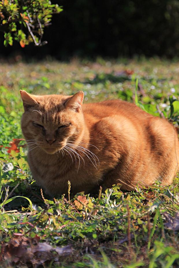 猫|日向ぼっこするトラ猫写真073
