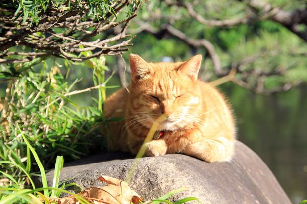 猫|日向ぼっこするトラ猫写真075