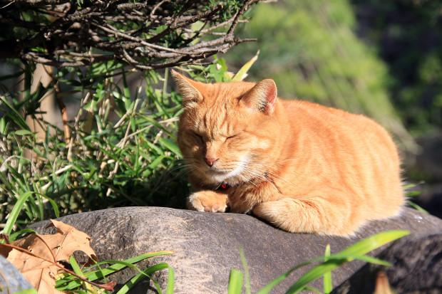 猫|日向ぼっこするトラ猫写真076