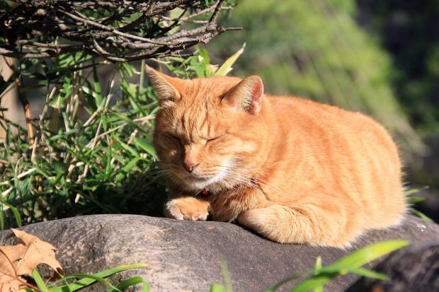 猫|日向ぼっこするトラ猫写真077