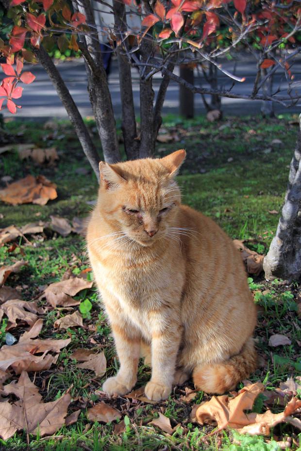 猫|日向ぼっこする茶トラ猫猫写真084