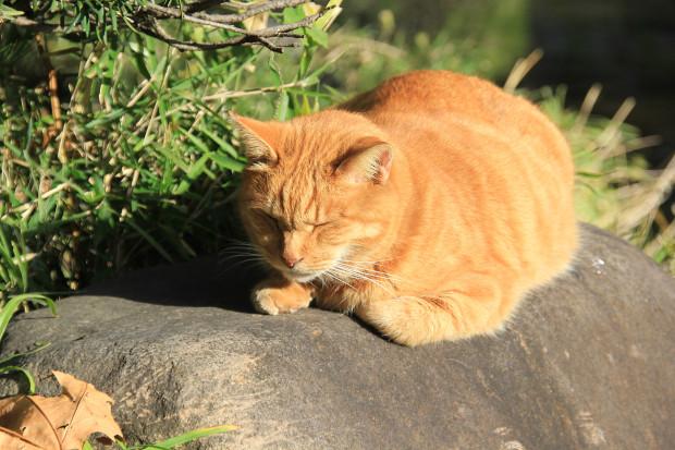 猫|日向ぼっこする茶トラ猫写真090