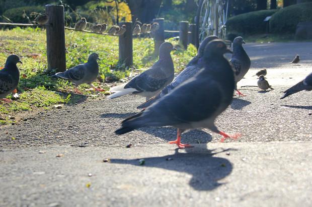 鳩写真048