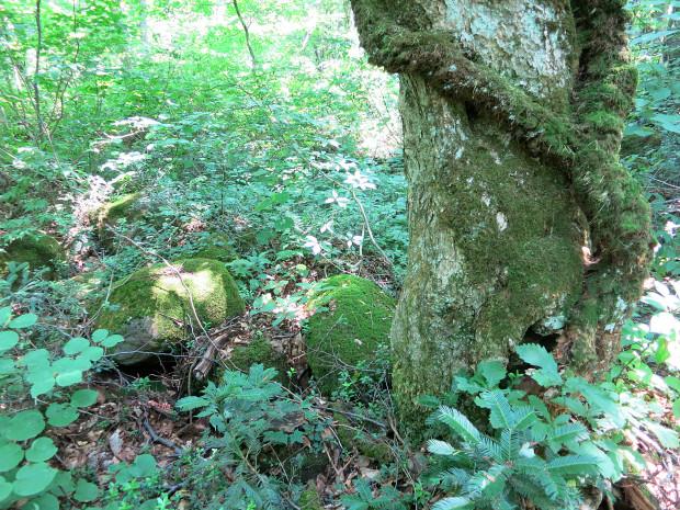 森林|鳥海山獅子ヶ鼻湿原 025