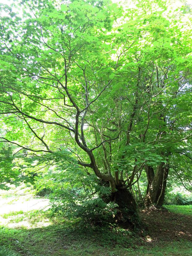 森林|鳥海山獅子ヶ鼻湿原 026
