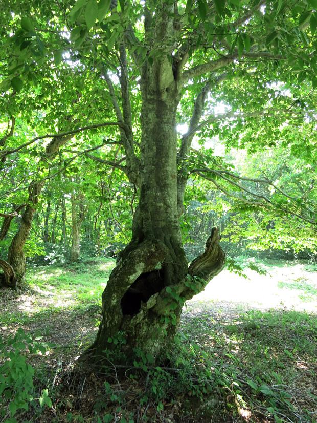 森林|鳥海山獅子ヶ鼻湿原 027