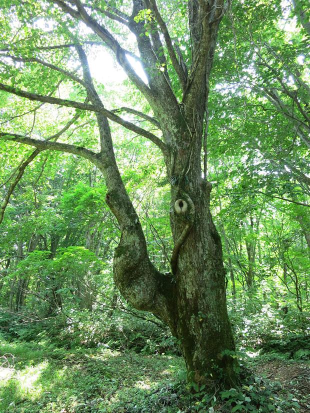 森林|鳥海山獅子ヶ鼻湿原 028