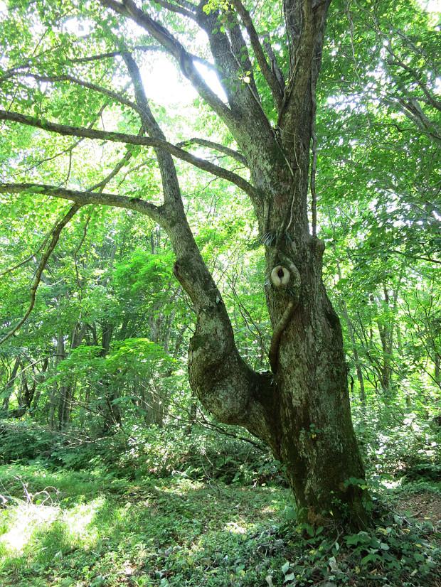 森林|鳥海山獅子ヶ鼻湿原 029