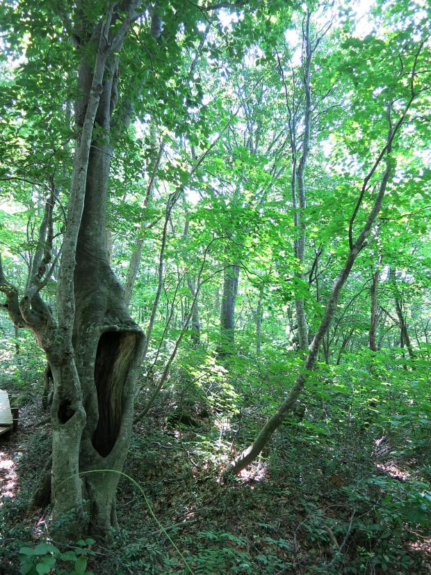 森林|鳥海山獅子ヶ鼻湿原 031