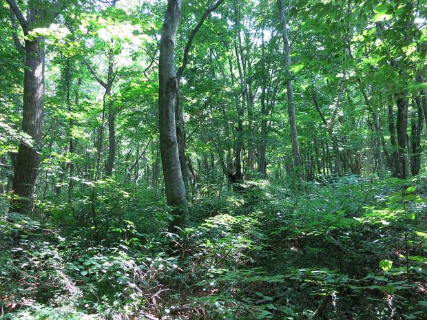 森林|鳥海山獅子ヶ鼻湿原 032
