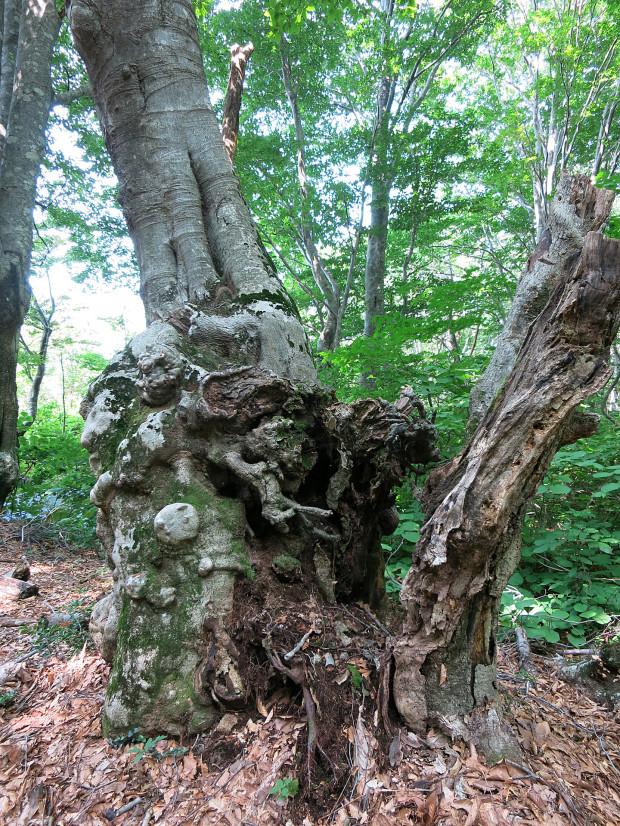 森林|鳥海山獅子ヶ鼻湿原 037